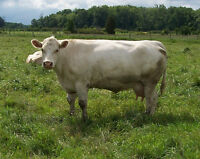 Charolais & Simmental Cow / Calf pairs for sale
