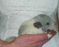 Baby Chinchillas Available