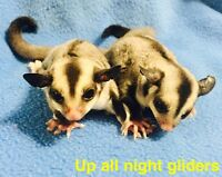 ADOPTED Two female sugar glider joeys