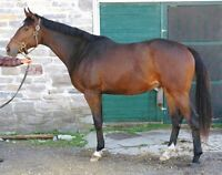 Thoroughbred gelding. Open to offers.