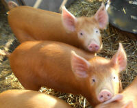 19 piggies born ** New litter this week **  2016 piglets