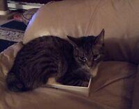 Manx Cat 6 years old (FREE)