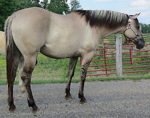 WANTED BEGINNER SAFE HORSE