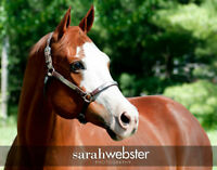 Double Superior APHA Halter Mare in Foal for March 2016