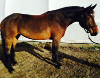 Belle grosse jument Warmblood à vendre