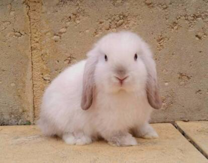 Mini Lop Rabbit Baby - Vaccinated, Blue Eyed Chocolate Point