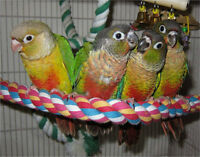 Baby Conures Ready To Go Home..