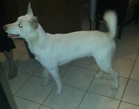 Green-Eyed White Husky needs new home! PLEASE READ.