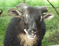 Icelandic Lambs - Purebred Registered Icelandic sheep