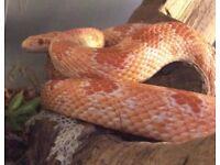 Female corn snake without viv