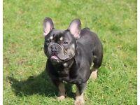 Kc reg French bulldog puppy's