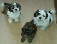 Shihztu x Toy Poodle Puppies