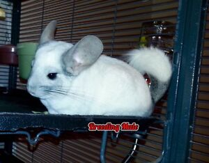 Chinchillas for sale, large cage available