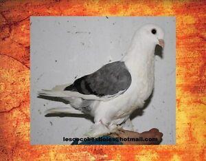 Tourterelle & pigeon de fantaisie comme animal de compagnie