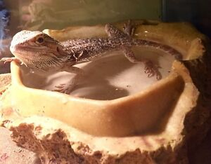 Female bearded dragon, no tank included.