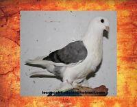 Pigeon de fantaisie comme animal de compagnie Laval / North Shore Greater Montréal Preview