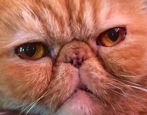 EXOTIC SHORTHAIR CHARLES declawed.