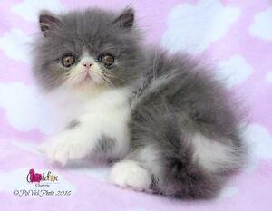 Persan femelle chaton qualité expo