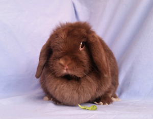 Pollywaffle - Gentle young adult mini lop who loves her food! Joondalup Joondalup Area Preview