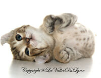 Superbes chatons Highland Lynx polydactyle pure race