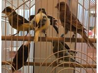 Singing Canaries with Cage