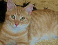 Meet CHEDDAR...24 wk.Adorable,Adoptable Kitty...Fixed/Shots