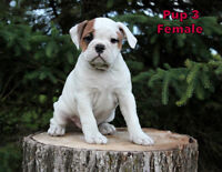 Valley Bulldog Pups