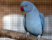 Looking For A Female Indian Ringneck For A Reasonable Price