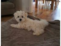 Maltese male puppy