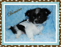 Chihuahua & Mi-ki Puppies