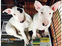 English Bull terrier pups