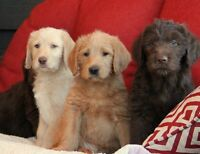 Beautiful Labradoodle puppies. Ready to go!!