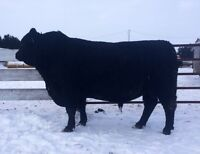 Black Angus Bulls to Sell Privately