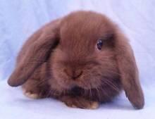 Mini Lop Rabbit Babies - Purebred, Chocolate Bunnies M&F Joondalup Joondalup Area Preview