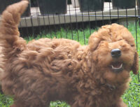 "Petite (Tiny) Goldendoodles 25Lbs or less and 14"" tall or less"