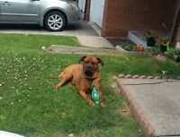 Female Rottie Mix to Good Home