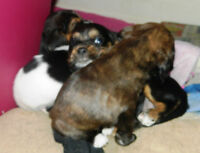 4 Beautiful Boston Spaniels for sale