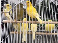 Singing Canaries and Cage