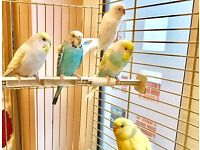 Selection of young BUDGIES ( including Pastel - Rainbow Colours ) and NEW Cage