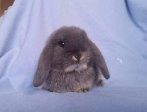 Mini Lop Rabbit Babies - Purebred, vaccinated, calm & cute! Joondalup Joondalup Area Preview