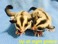 ADOPTED Female sugar gliders