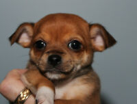 STUNNING TINY REGISTERED CHIHUAHUA PUPPIES ONLY 1 LEFT