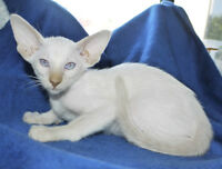 CFA Reg. SIAMESE, AND ORIENTAL SHORTHAIR KITTENS