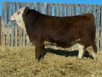 Simmental Bulls for sale