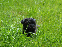 yorkipoo only 1 male left