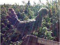Cuckoo Poland hen/chicken £20 each or 2 for £35