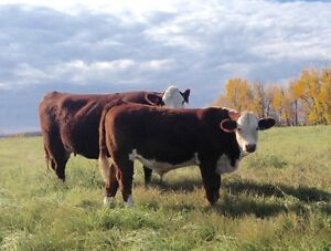 4-H Project Steers