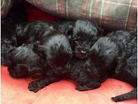 F1 Cavapoo Rare Black Puppies