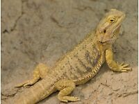 Bearded dragon, free to a good home. (1 year old).