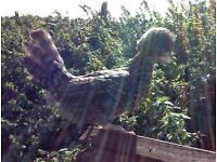 Cuckoo Poland hen/chicken